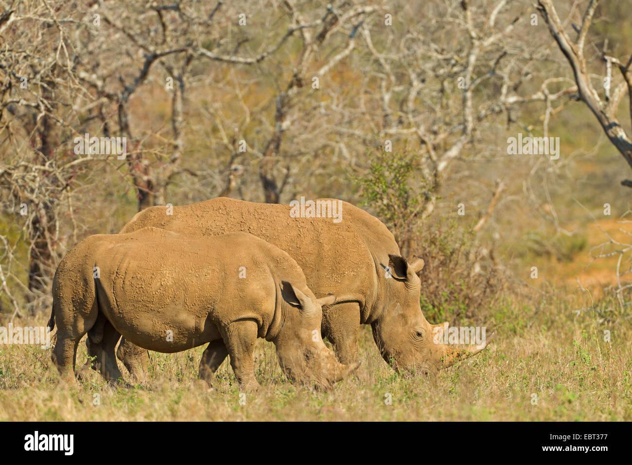 white rhinoceros, square-lipped rhinoceros, grass rhinoceros (Ceratotherium simum), grazing, South Africa, Hluhluwe-Umfolozi National Park Stock Photo