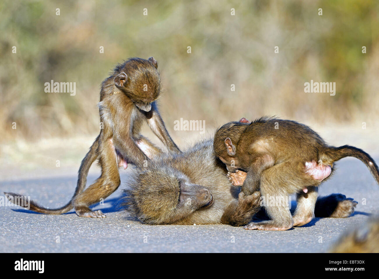 Chacma baboon, anubius baboon, olive baboon (Papio ursinus, Papio cynocephalus ursinus), beeing teased by two young - Stock Image