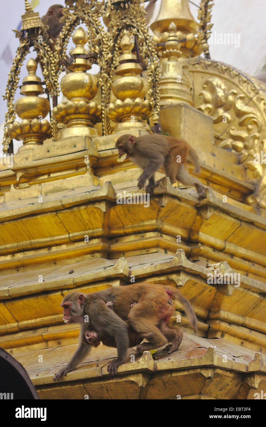 rhesus monkey, rhesus macacque (Macaca mulatta), apes in the Swayambhunath, Monkey Temple, stupa, Nepal, Kathmandu - Stock Image