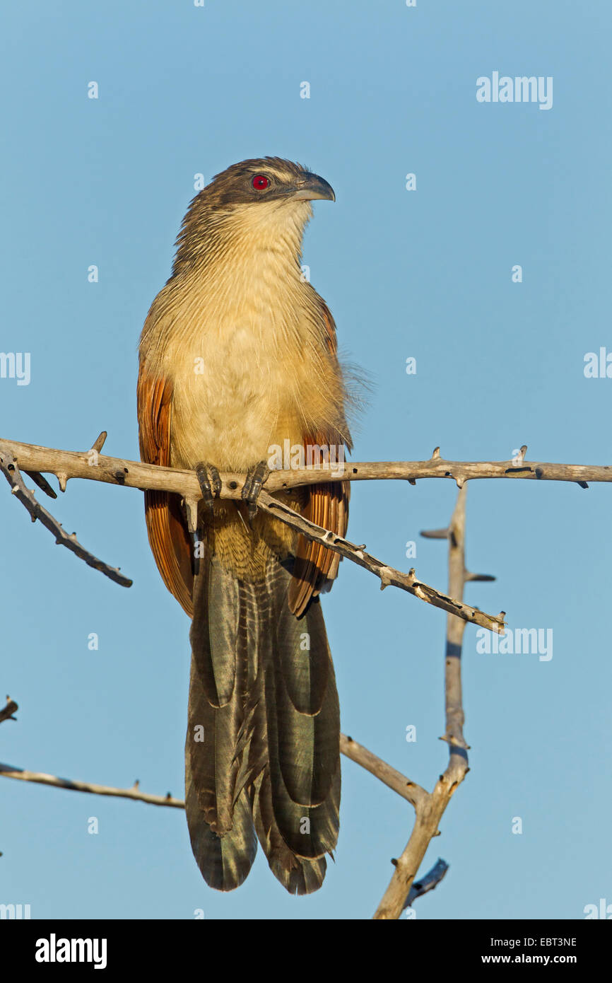 white-browed coucal (Centropus superciliosus burchelli), sitting on a branch, South Africa, Krueger National Park, - Stock Image