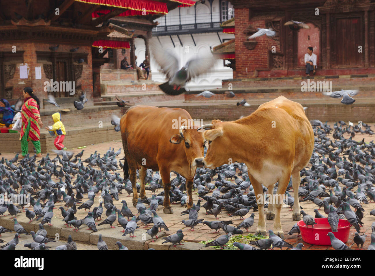 sacred cattles and doves on the Kathmandu Durbar Square, Nepal, Kathmandu - Stock Image