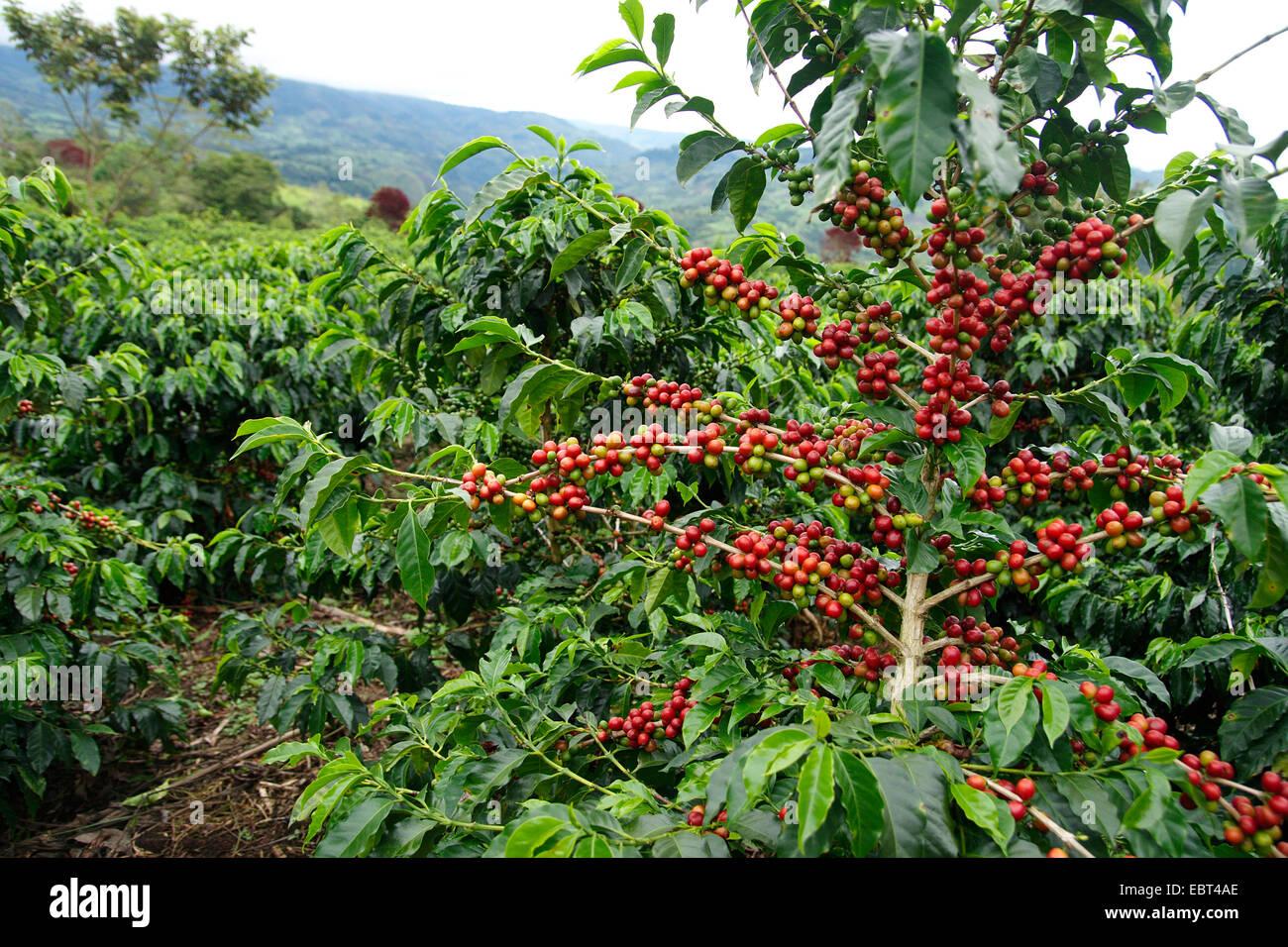 Arabian coffee coffea arabica fruiting branches for Coffea arabica