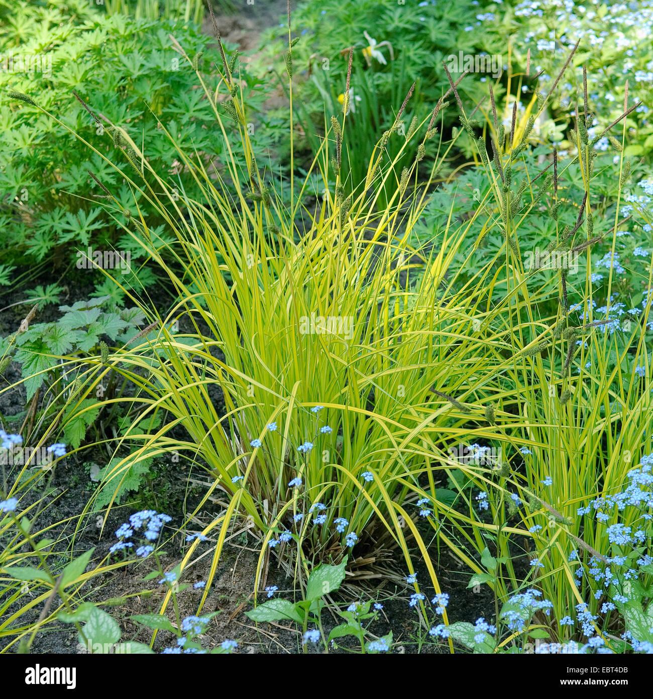 tufted sedge, tufted-sedge, tussock sedge (Carex elata 'Aurea', Carex elata Aurea), cultivar Aurea - Stock Image