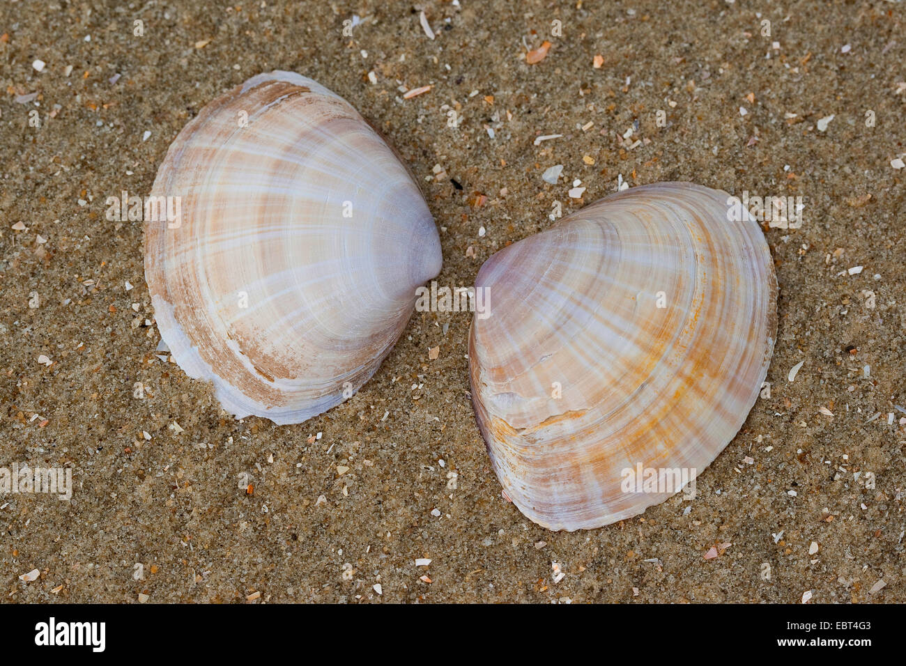 White trough clam, Rayed trough shell, Rayed trough-shell (Mactra corallina, Mactra stultorum, Mactra cinerea), - Stock Image
