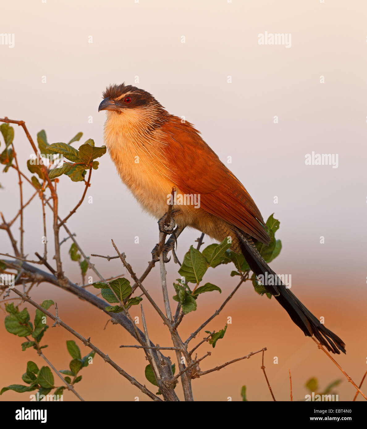 Burchells Coucal, White-browed coucal (Centropus superciliosus burchelli), sitting on a bush, South Africa, Krueger - Stock Image