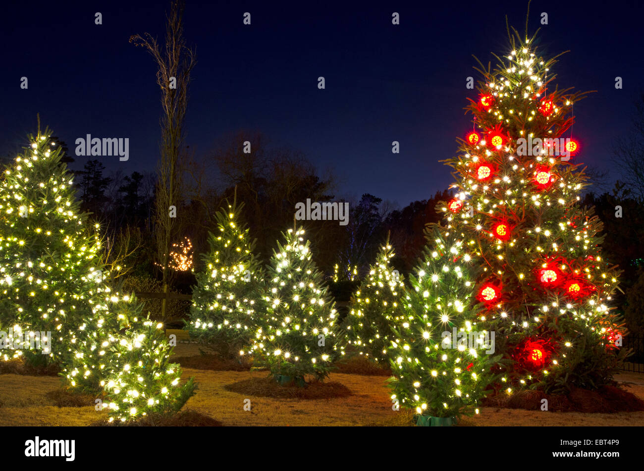 Outdoor Christmas Tree With Lights.Outdoor Christmas Trees Have Been Decorated With Red And White