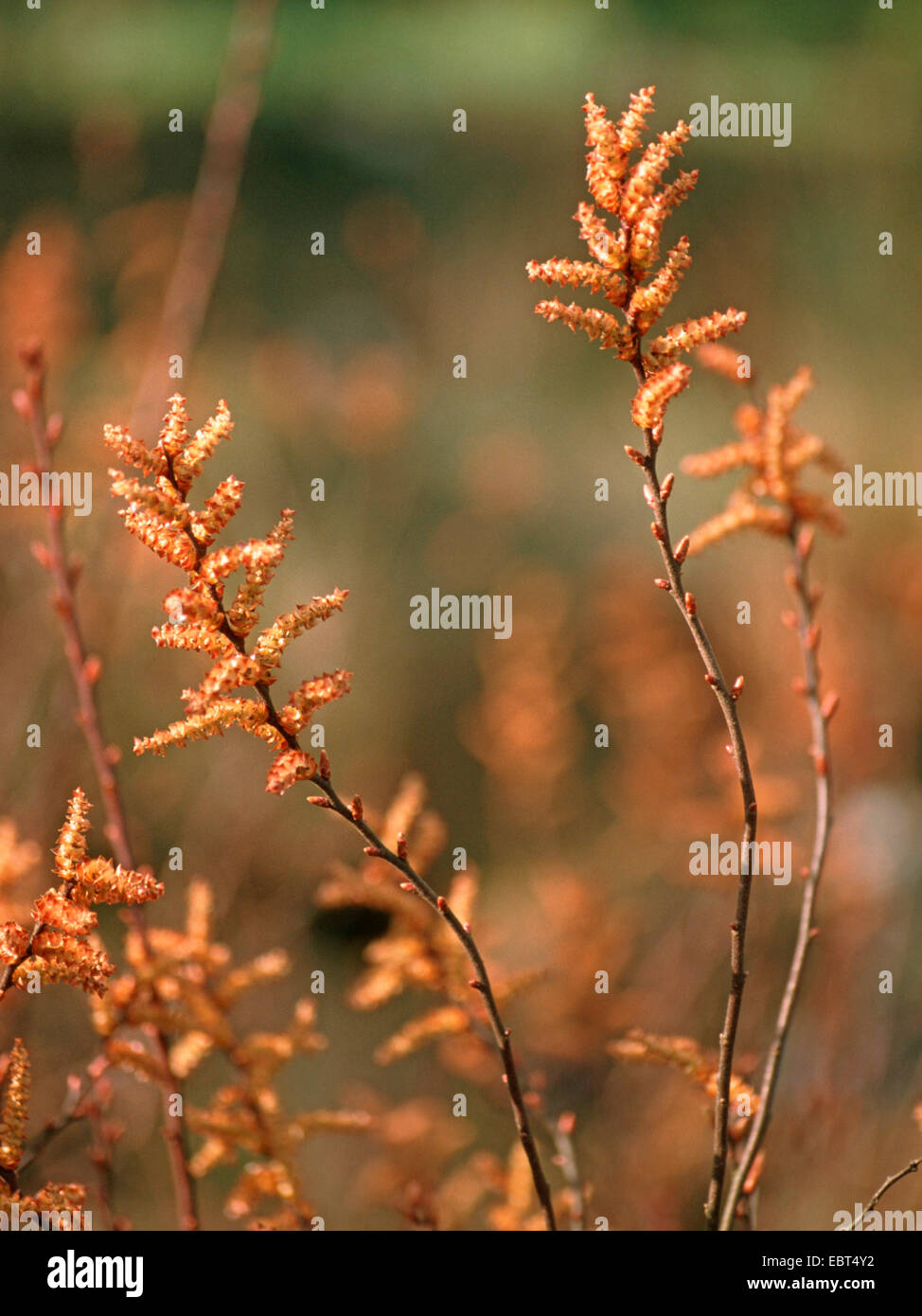 bog myrtle, sweet gale, sweet bayberry (Myrica gale), blooming branches, male catkins, Germany - Stock Image