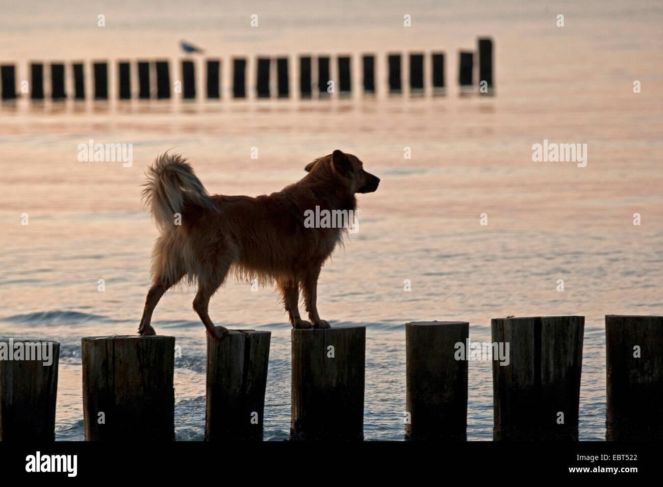dog balancing on spur dikes, Germany, Mecklenburg-Western Pomerania, Zingst - Stock Image