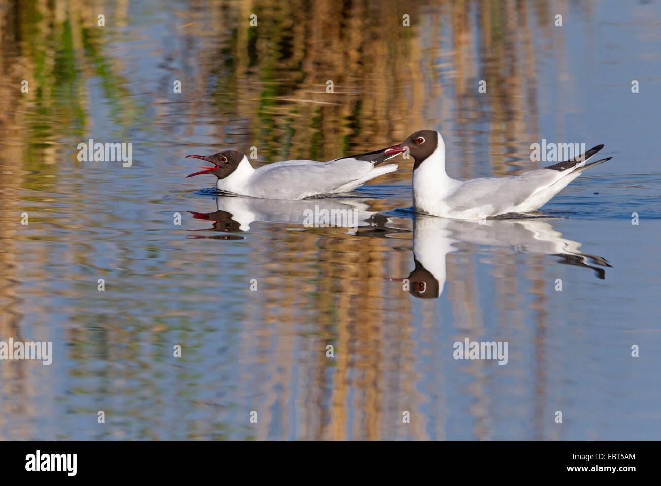 black-headed gull (Larus ridibundus, Chroicocephalus ridibundus), two black-headed gulls swimming together on the Stock Photo