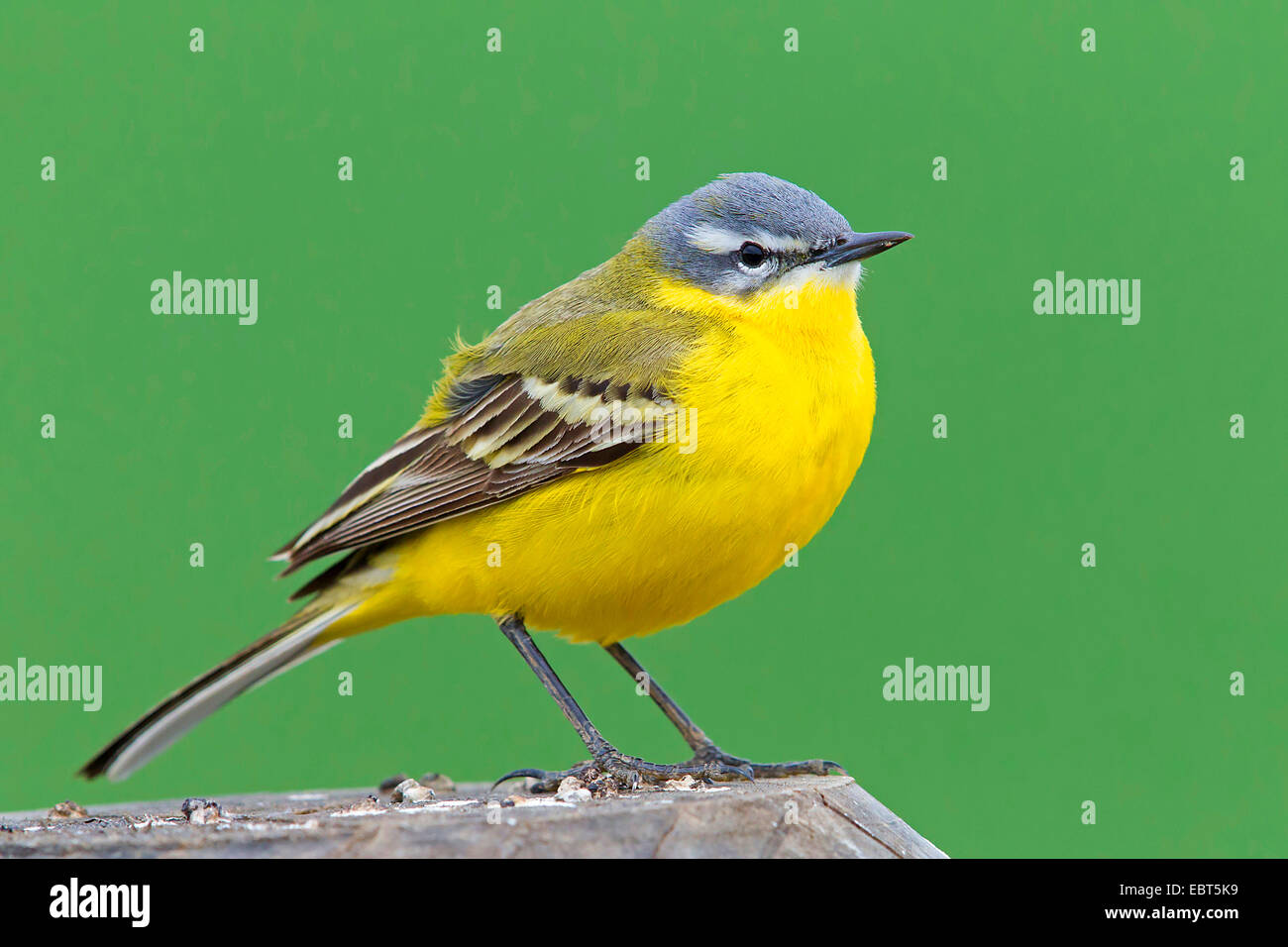Blue-headed Wagtail, Yellow Wagtail (Motacilla flava flava), on lookout, Germany, Hesse - Stock Image