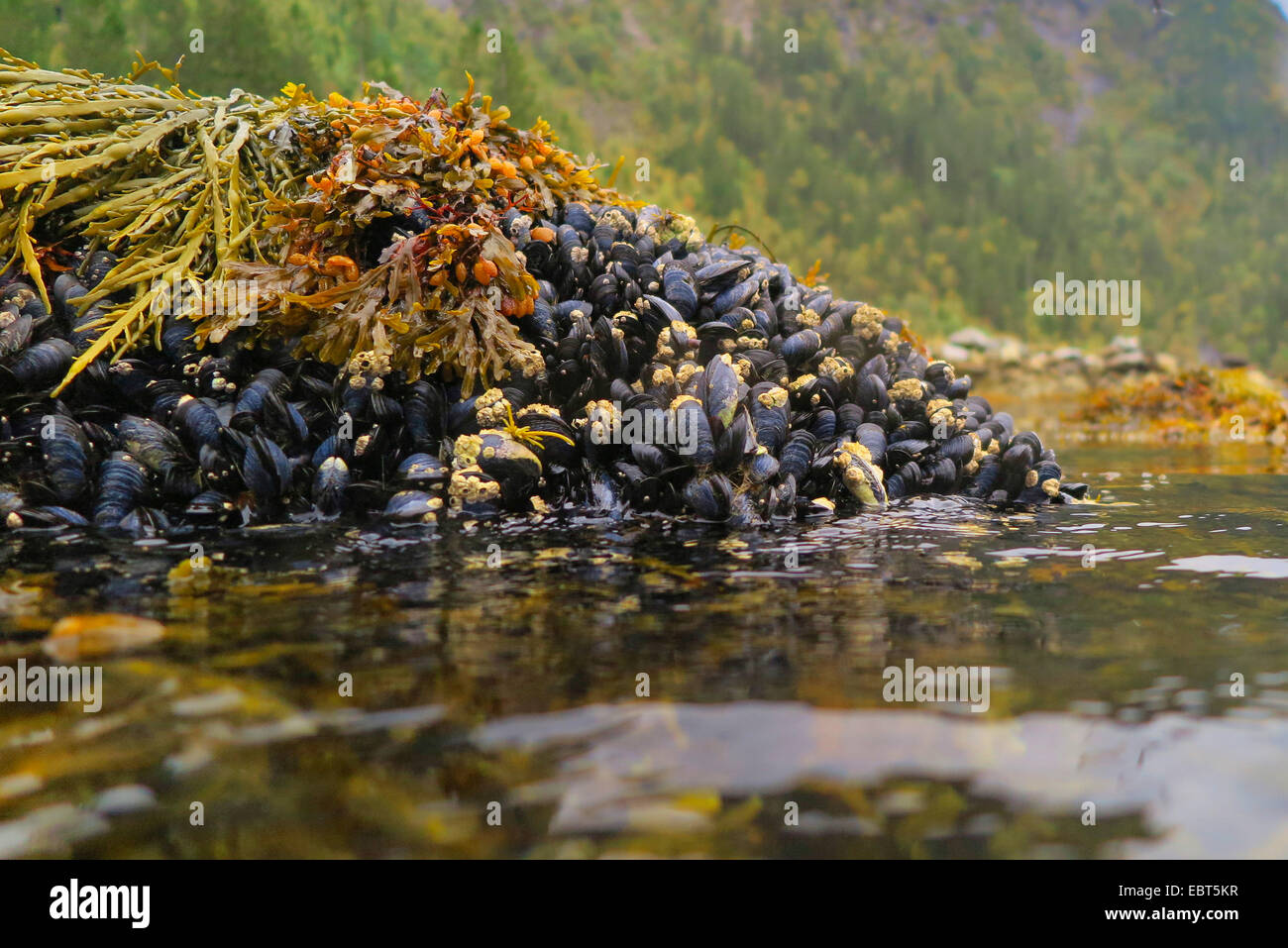 mussels (Mytiloidea), colony of blue mussels at ebb-tide with bladder wrack, Norway, Nordland - Stock Image
