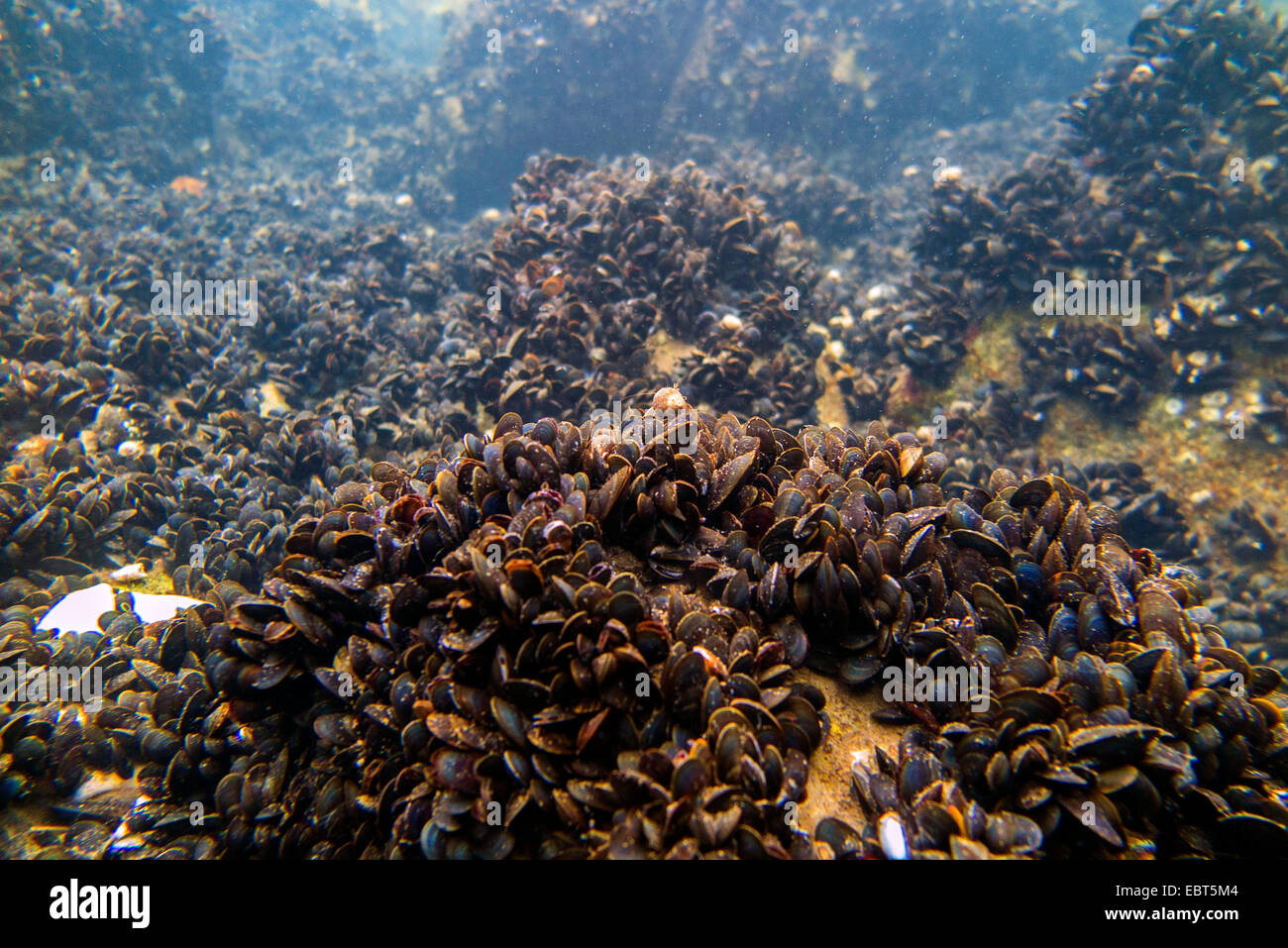 mussels (Mytiloidea), colony of blue mussels under water, Norway, Nordland - Stock Image