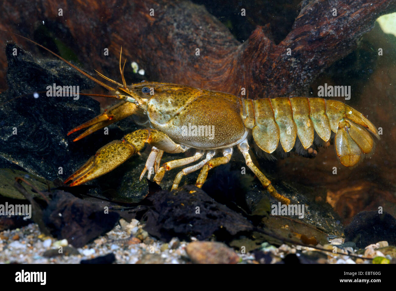 long-clawed crayfish (Astacus leptodactylus), female, abdomen with eggs Stock Photo