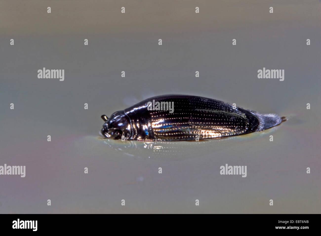 common whirligig beetle (Gyrinus substriatus, Gyrinus natator), on water surface, Germany Stock Photo