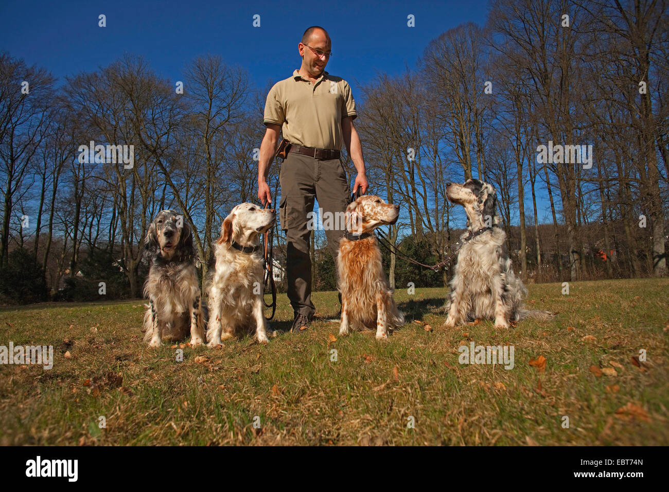 English Setter (Canis lupus f. familiaris), man with four English setters - Stock Image