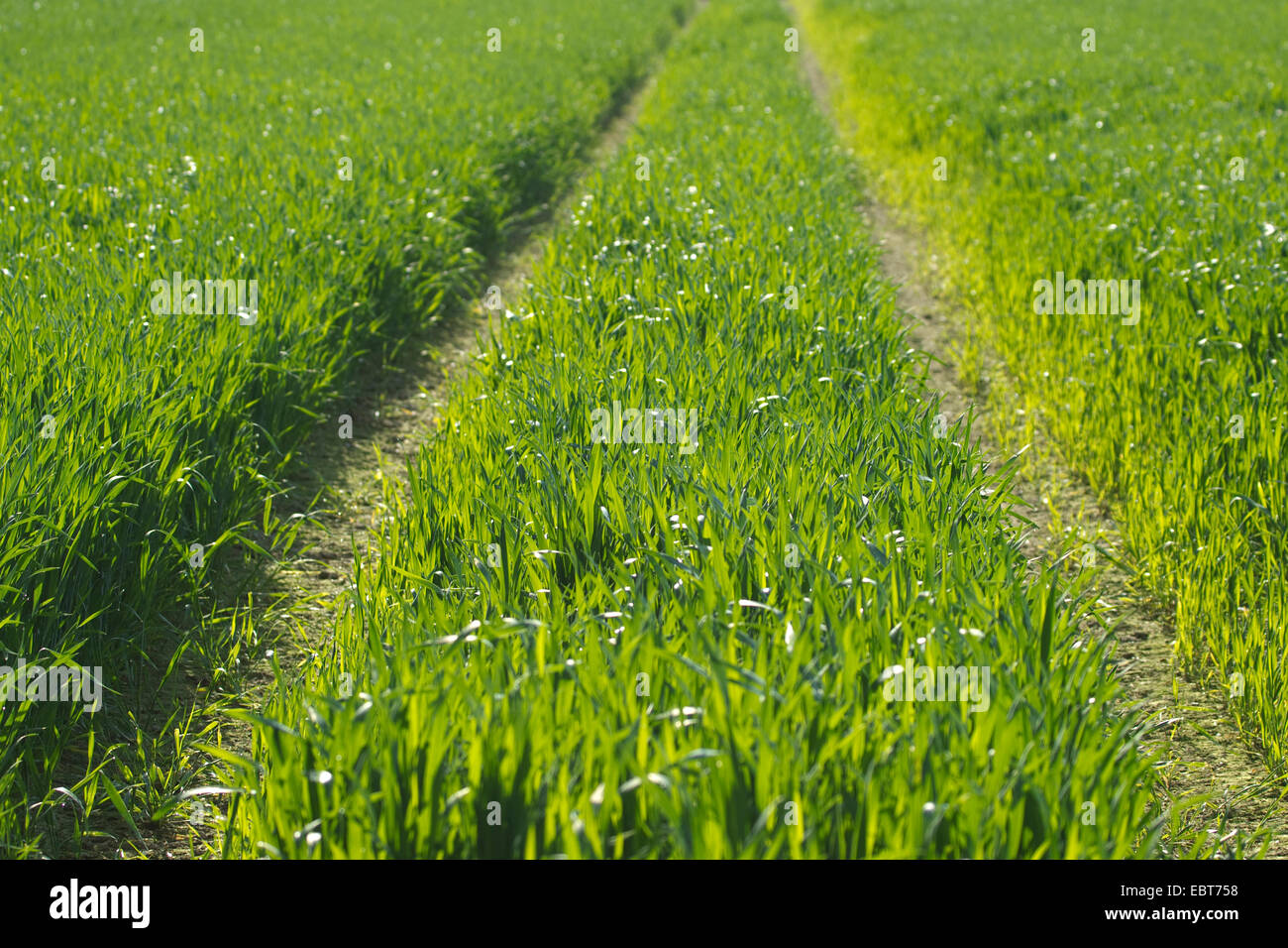 tractor lane conventional field without weeds, Germany, North Rhine-Westphalia, Muensterland - Stock Image
