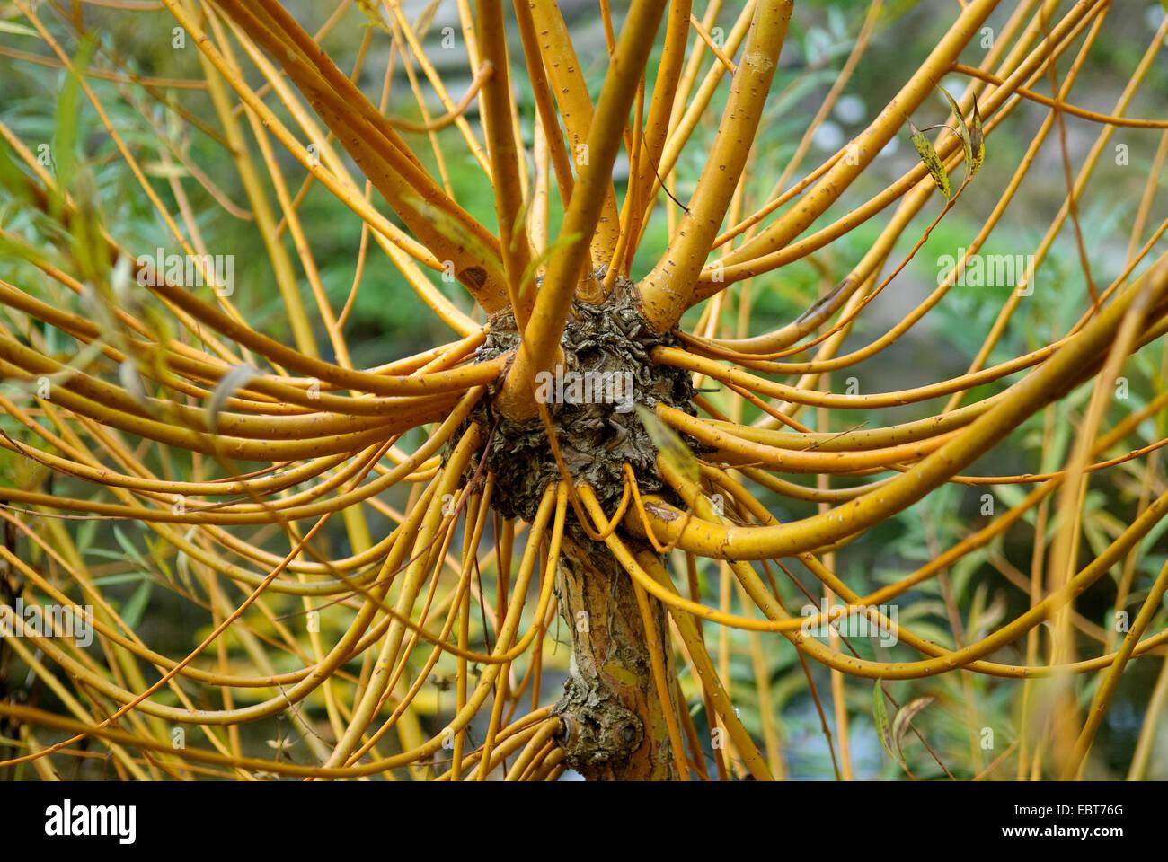 White willow (Salix alba 'Chermesina', Salix alba Chermesina), cultivar Chermesina - Stock Image