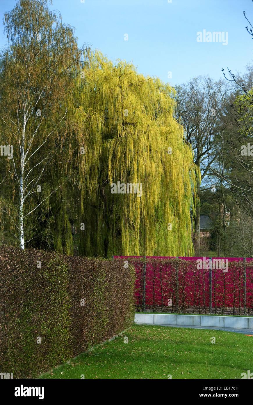 dwarf gray willow (Salix alba 'Tristis', Salix alba Tristis), cultivar Tristis in a park in autumn - Stock Image