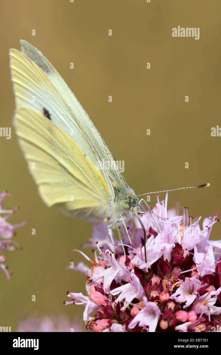Small white, Cabbage butterfly, Imported cabbageworm (Pieris rapae, Artogeia rapae), on pink flowers on  Origanum - Stock Image