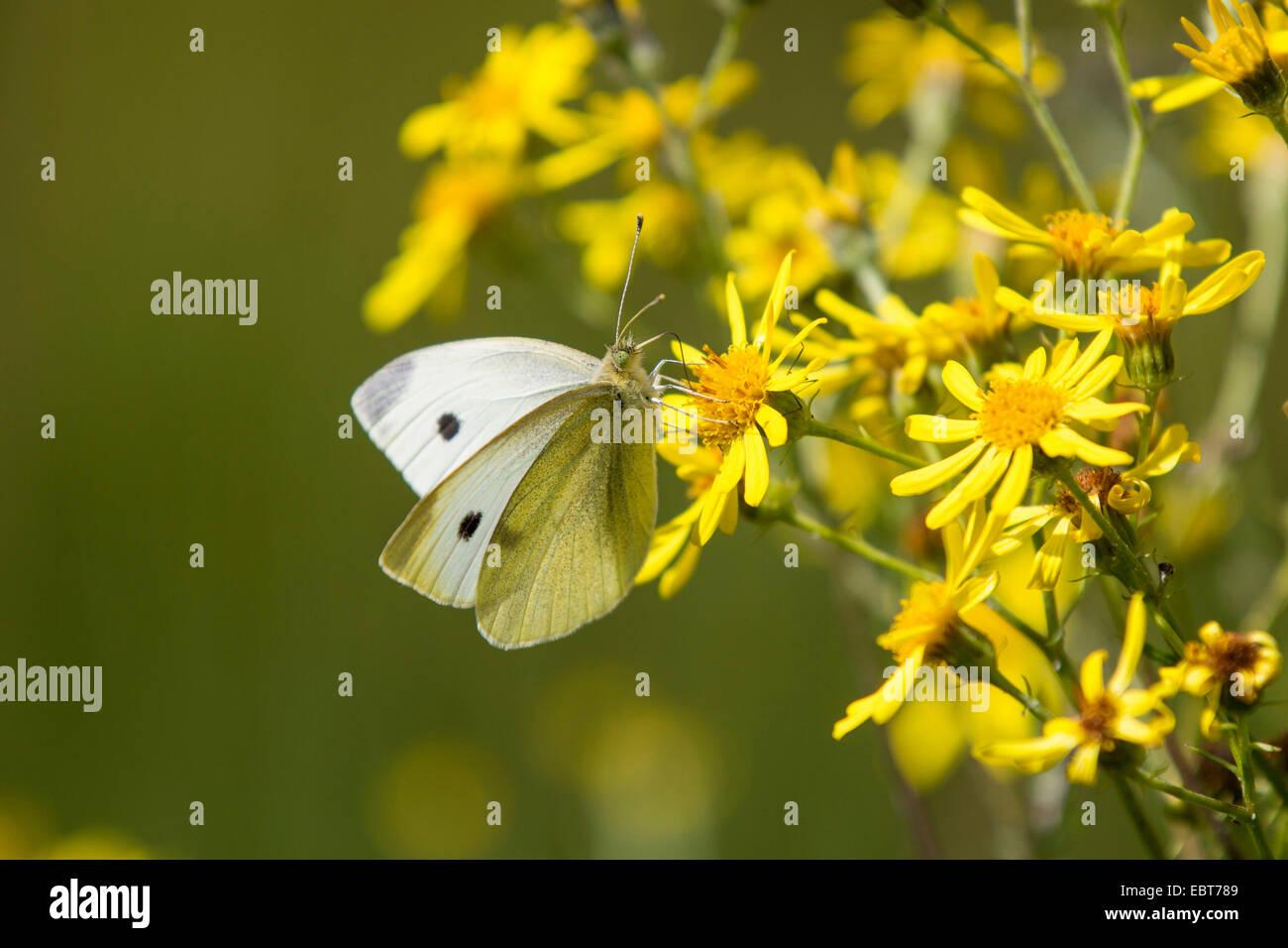 large white (Pieris brassicae), suckking nectar from ragwort, Germany, Bavaria - Stock Image