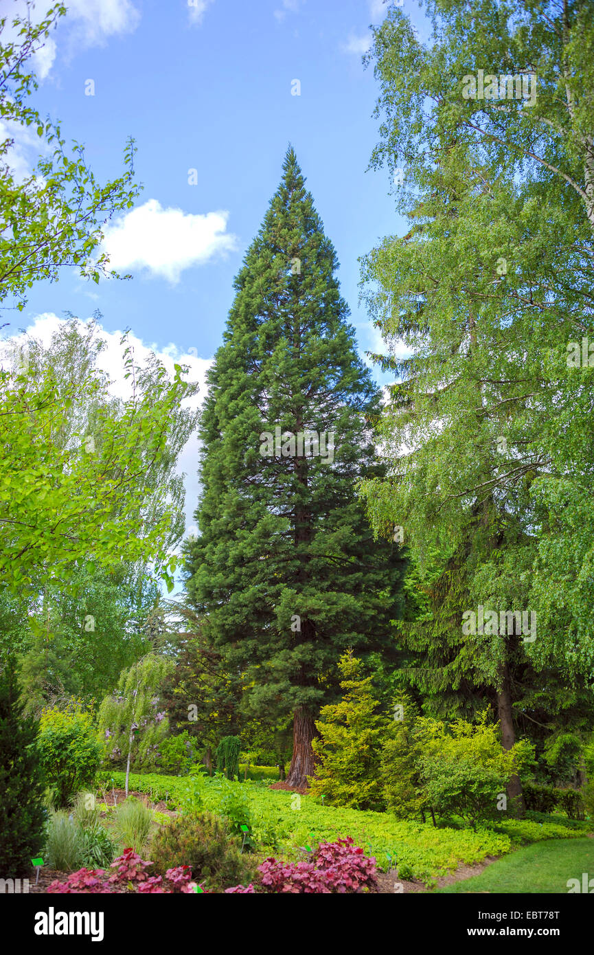 giant sequoia, giant redwood (Sequoiadendron giganteum), in a park, Poland, Niederschlesien, Niemcza - Stock Image