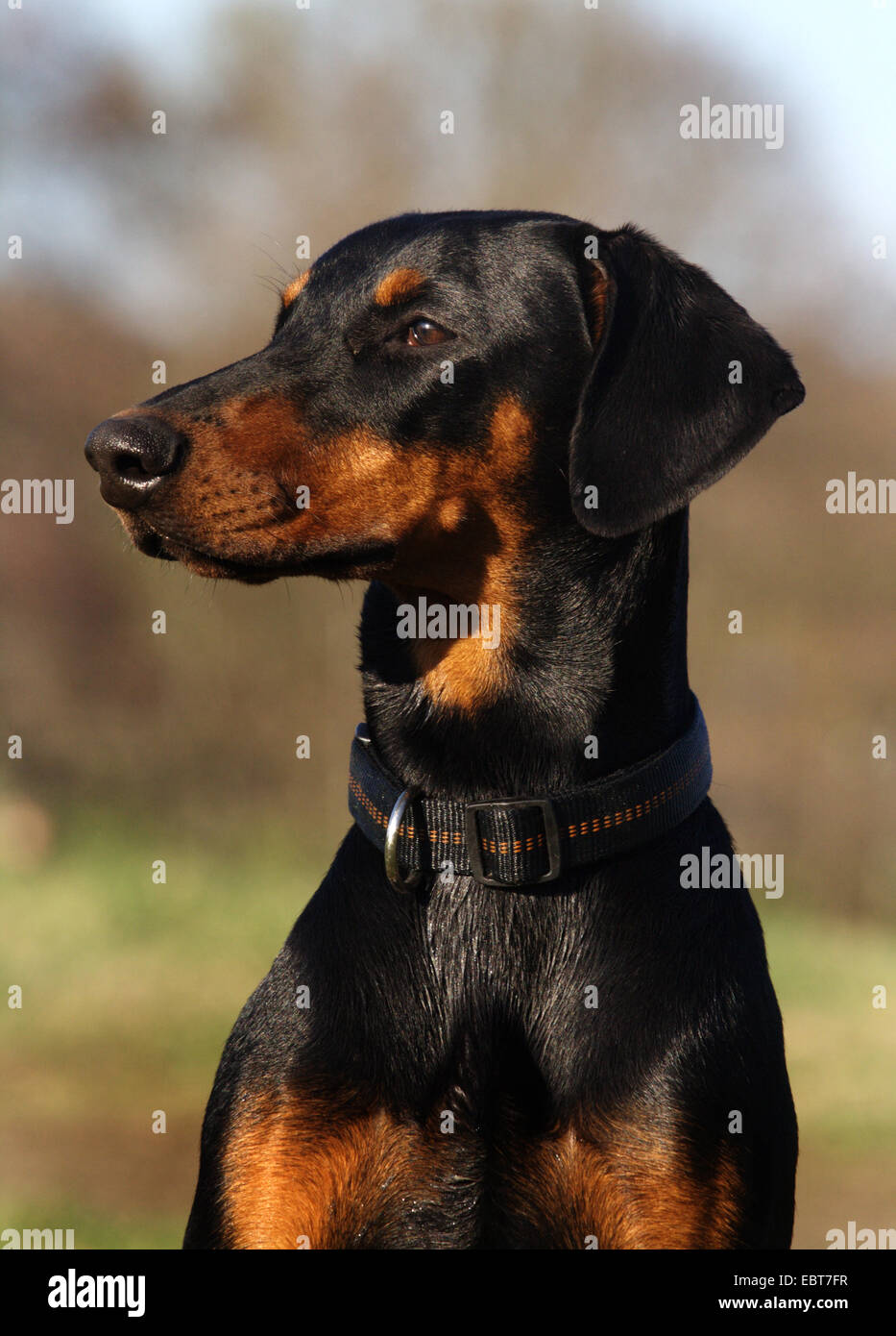 Dobermann (Canis lupus f. familiaris), portrait, Germany - Stock Image