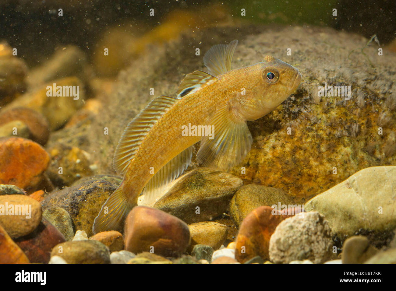 round goby (Neogobius melanostomus), on pebbles on the ground - Stock Image