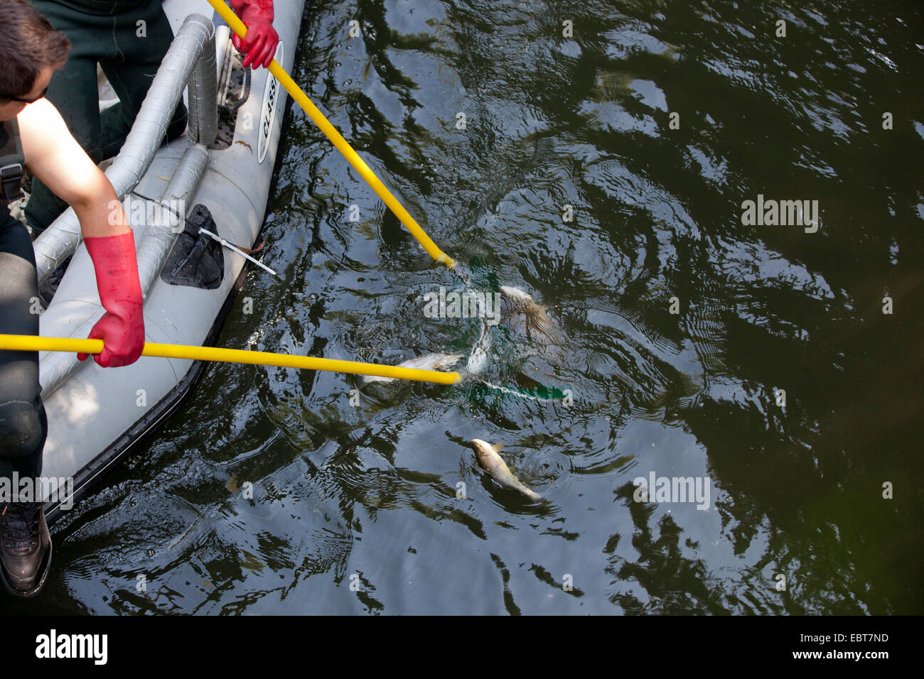 brown trout, river trout, brook trout (Salmo trutta fario), electrofishing for population control, Germany, Bavaria - Stock Image