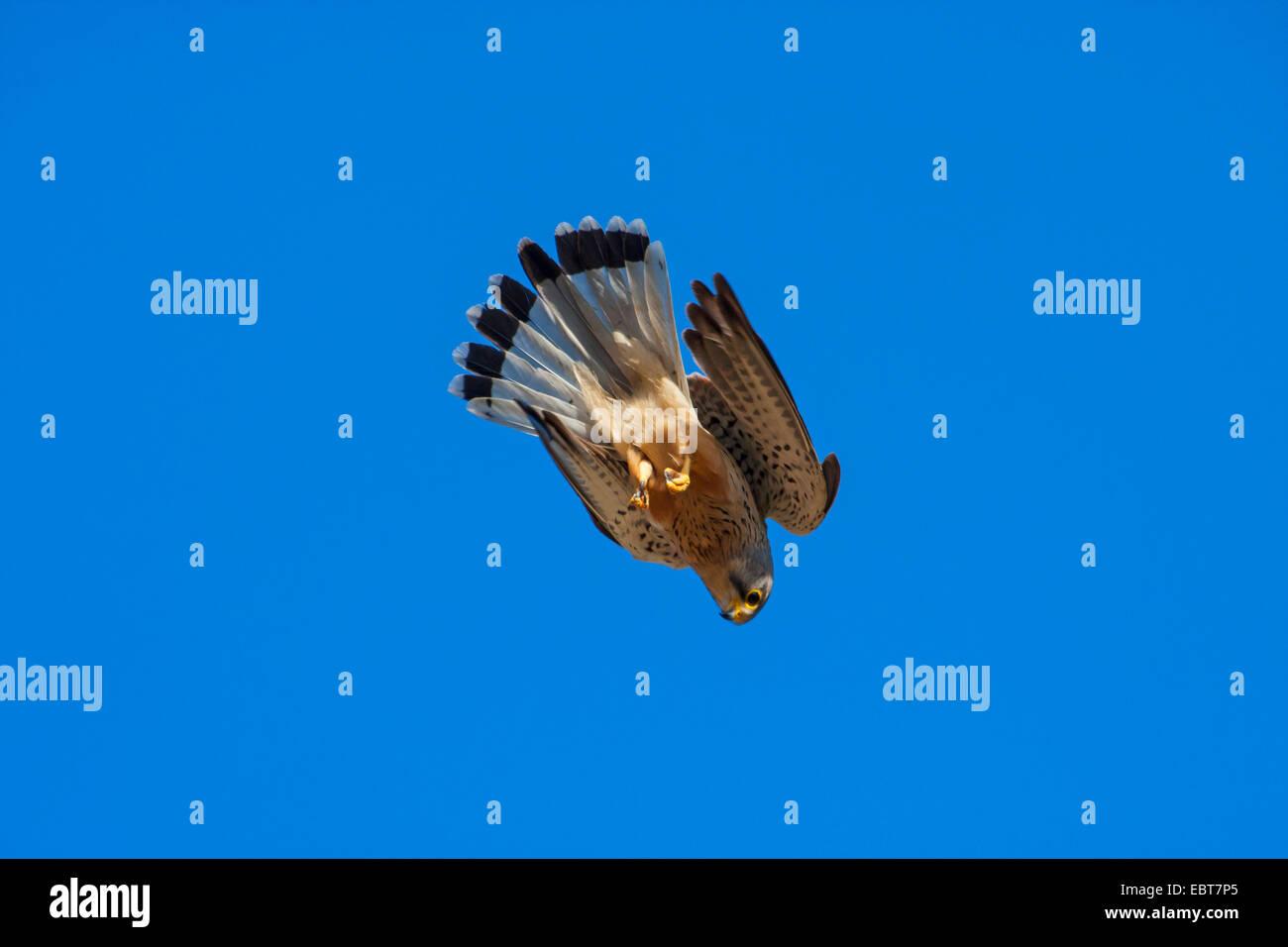 European Kestrel, Eurasian Kestrel, Old World Kestrel, Common Kestrel (Falco tinnunculus), in nose dive, Switzerland, - Stock Image