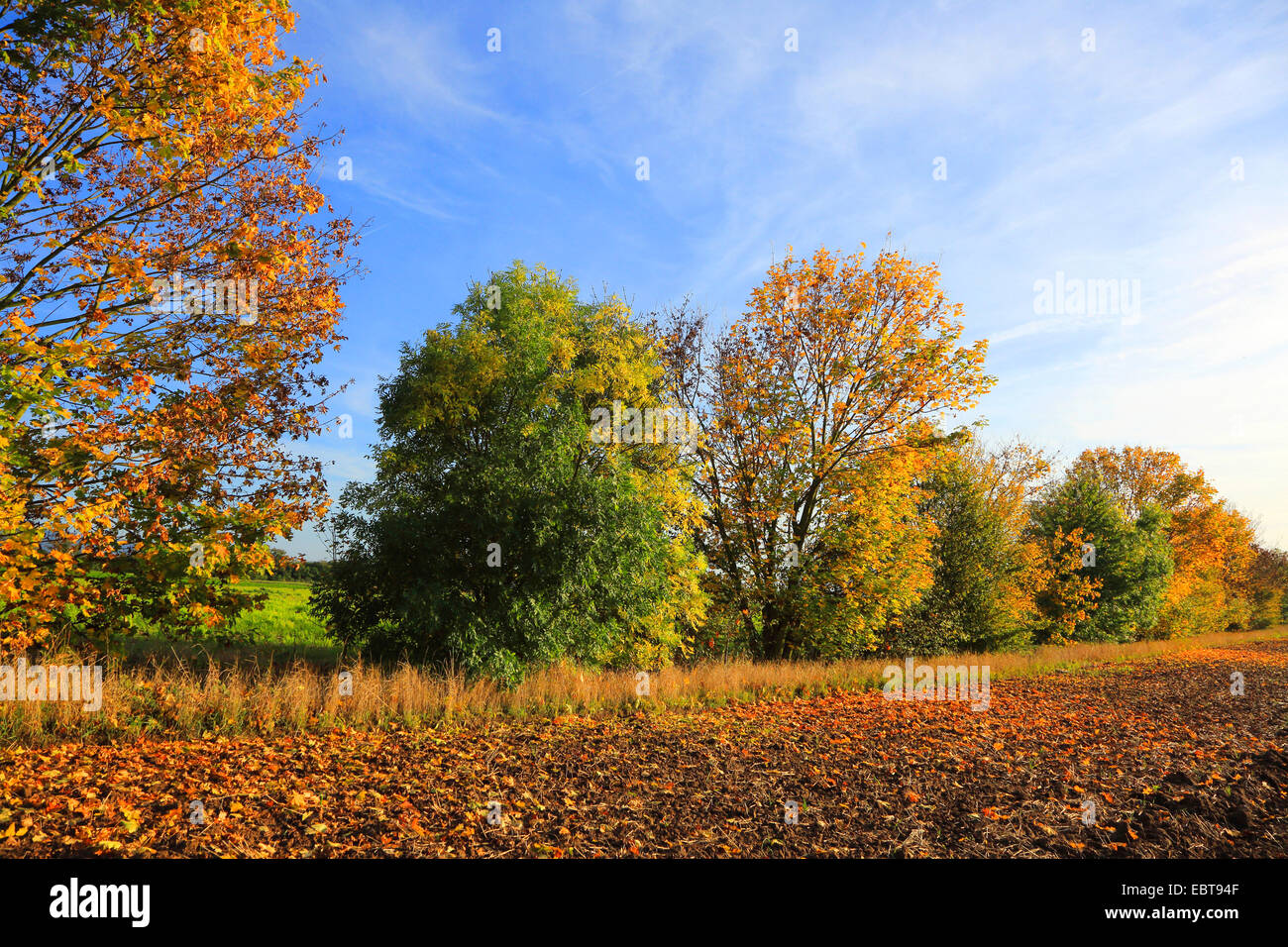 field landscape with hedge in autumn, Germany - Stock Image