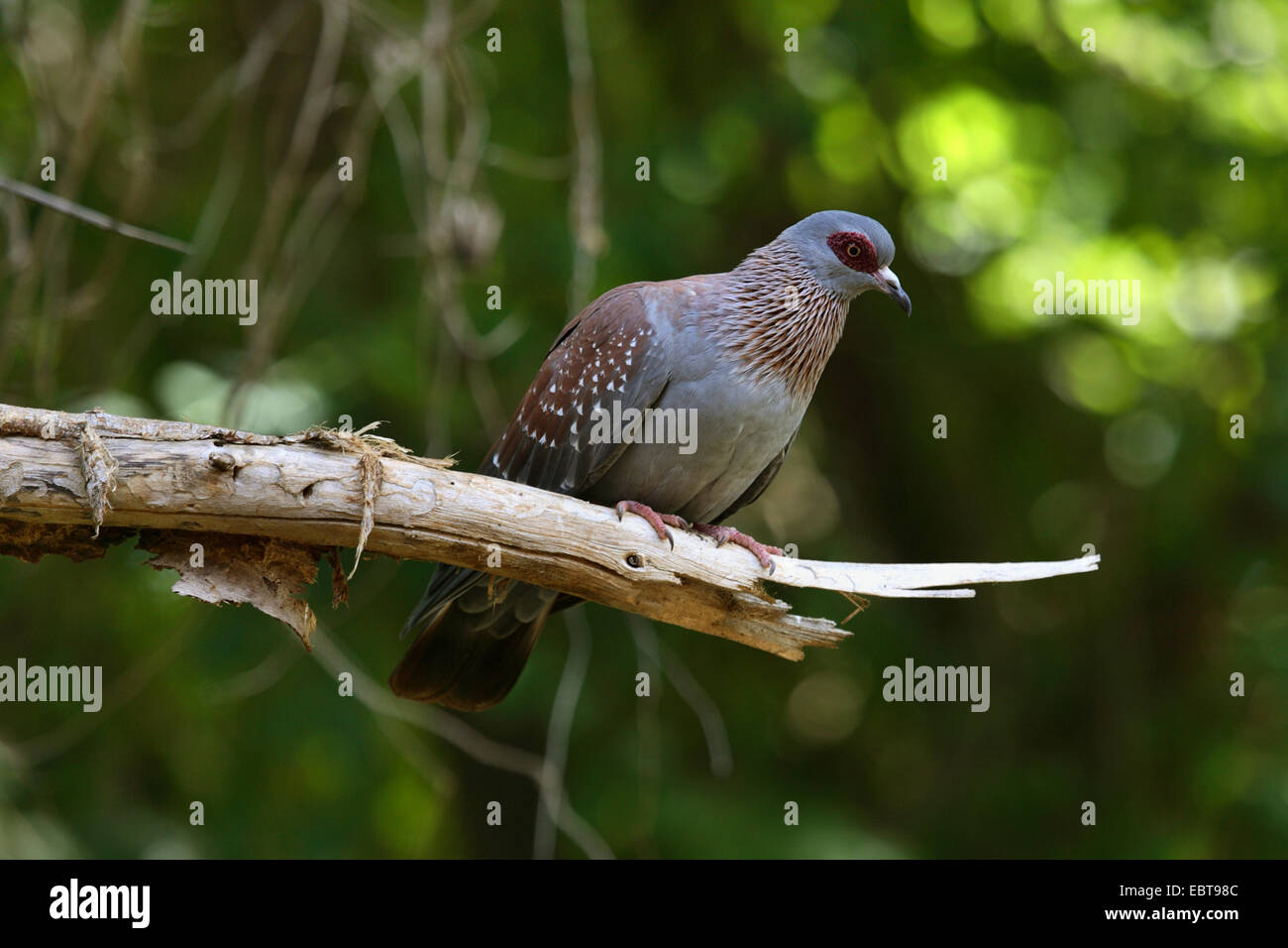 speckled pigeon (Columba guinea), sitting on a branch, Kenya, Samburu National Reserve - Stock Image
