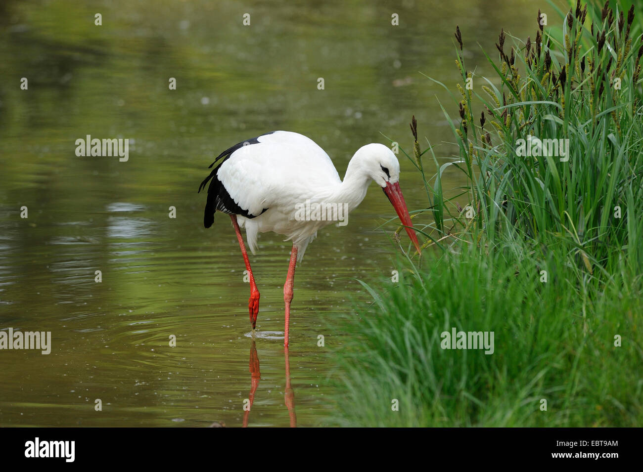 white stork (Ciconia ciconia), looking for food at a water shore, Germany - Stock Image