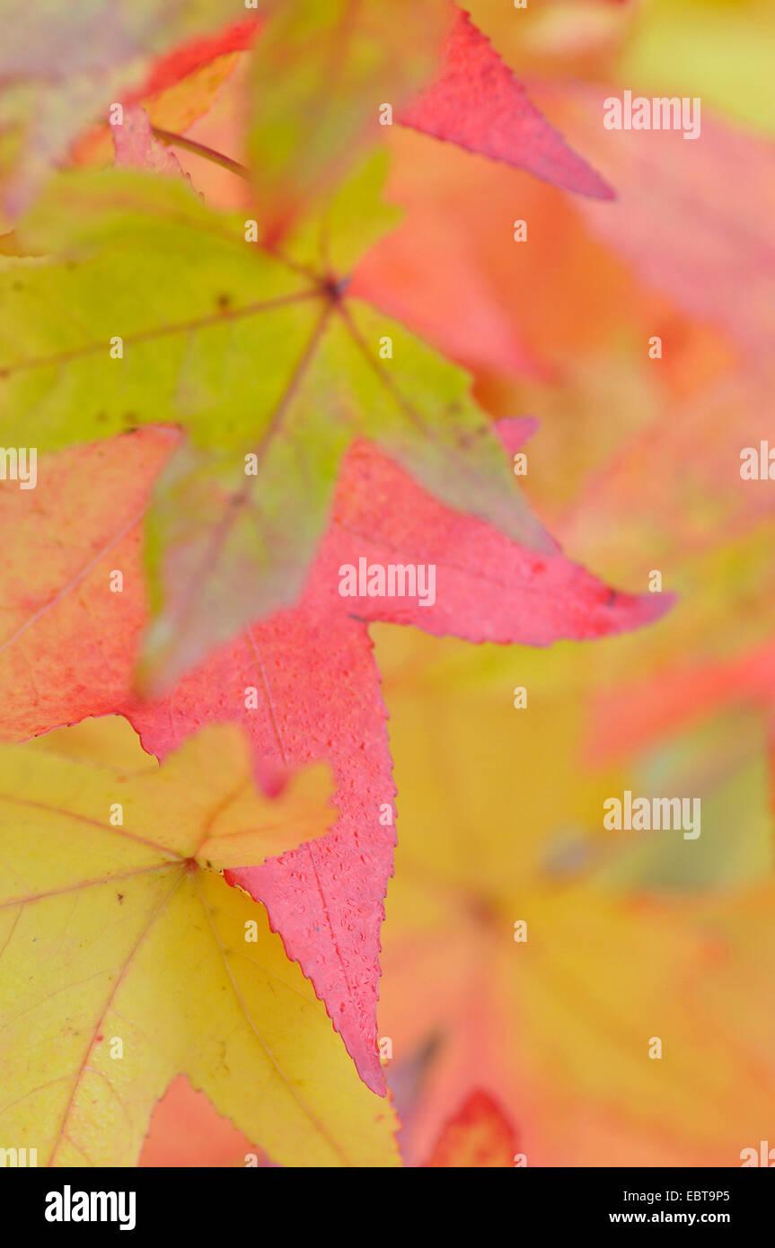 sweet gum (Liquidambar spec.), autumn leaves, Germany - Stock Image