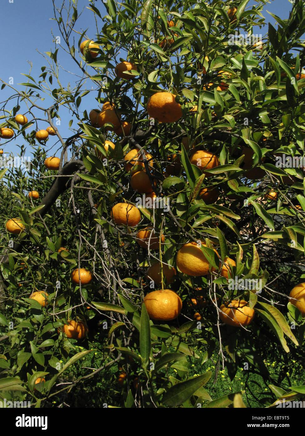 mandarin, tangerine (Citrus reticulata), mandarins on a tree, Spain, Balearen, Majorca - Stock Image