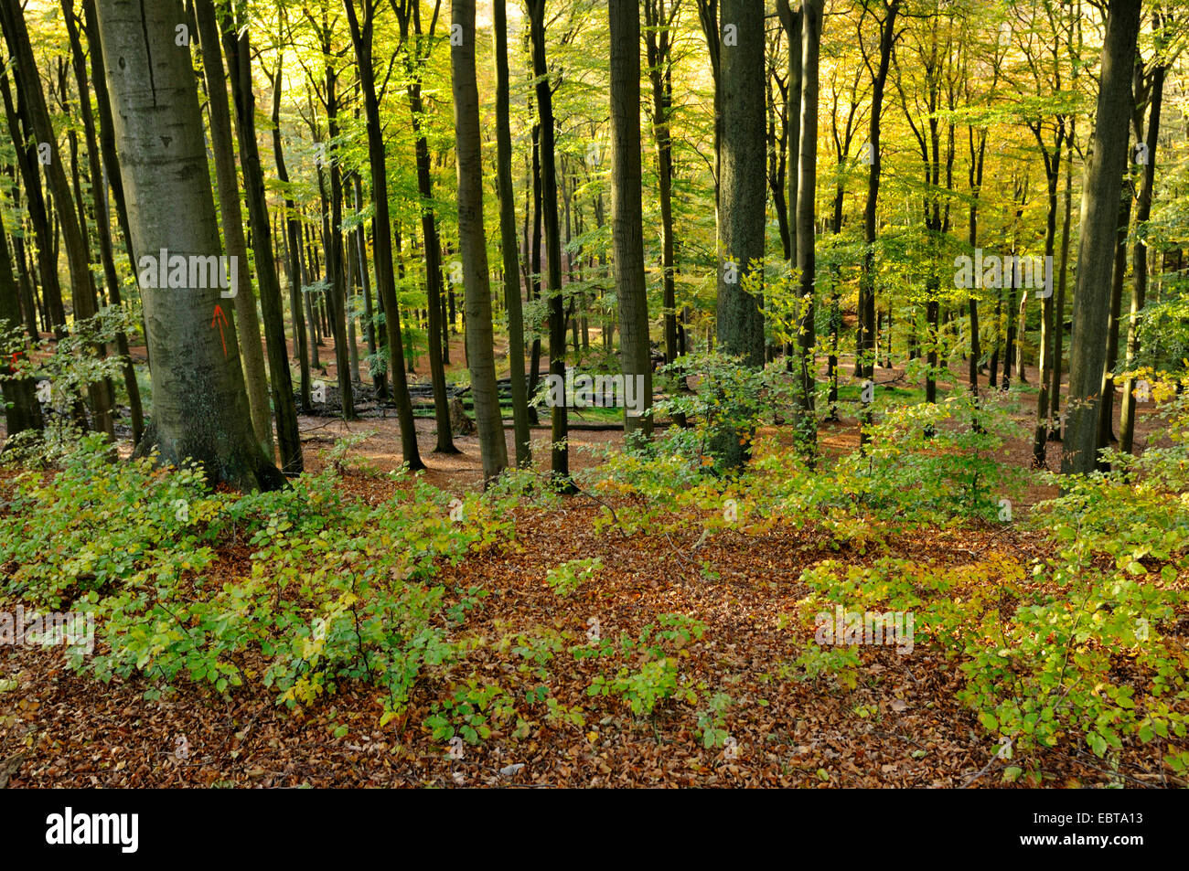 beech forest in autumn, Germany, North Rhine-Westphalia, Sauerland Stock Photo