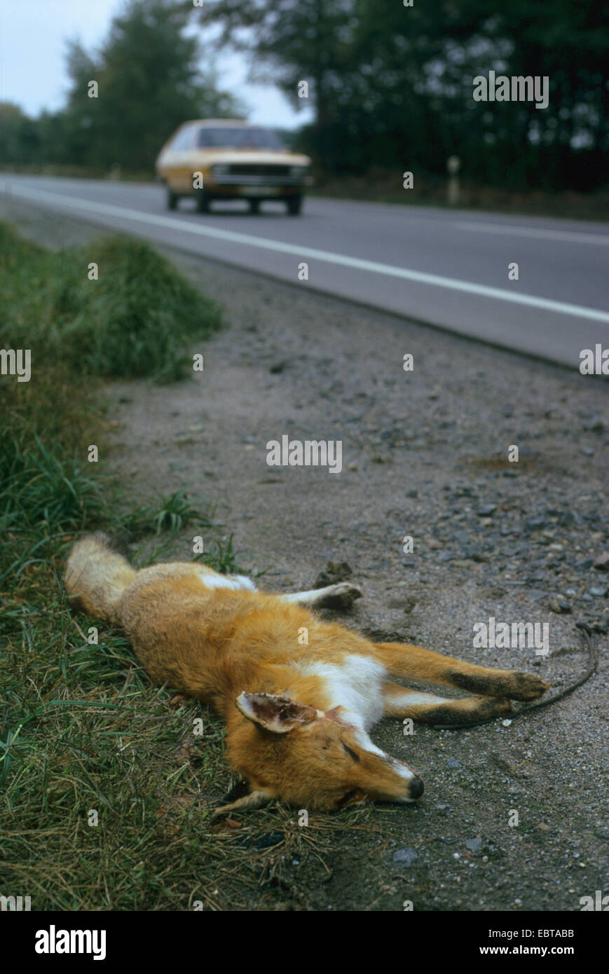 red fox (Vulpes vulpes), dead on the roadside, Germany - Stock Image
