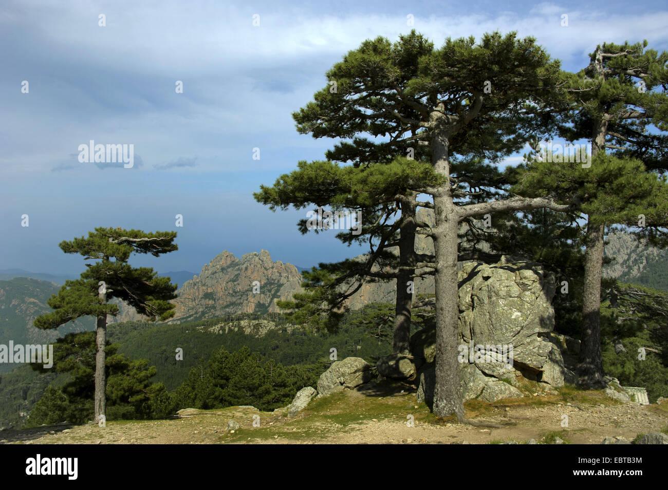 European black pine, Austrian pine, Black Pine, Corsican Pine (Pinus nigra), at Col de Bavella, France, Corsica, Stock Photo