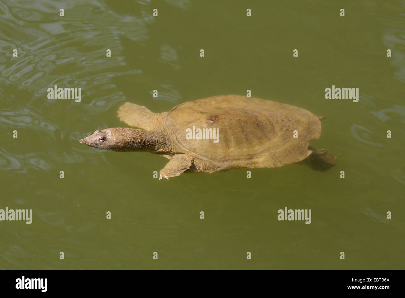 pig-nosed turtle, pitted-shell turtle, New Guinea plateless turtle, pignosed softshell turtle (Carettochelys insculpta) - Stock Image