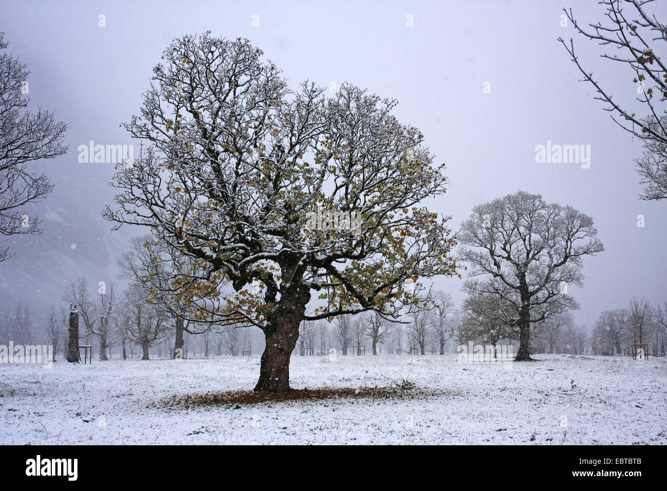 sycamore maple, great maple (Acer pseudoplatanus), Grosser Ahornboden, a scenic alpine pasture valley with old marple Stock Photo