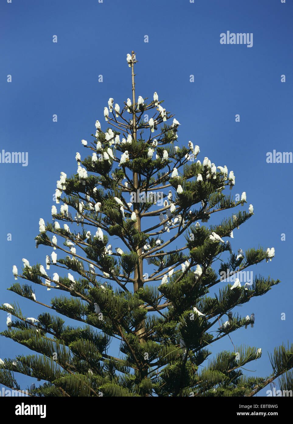 little corella (Cacatua sanguinea), on a Araucaria, Australia - Stock Image