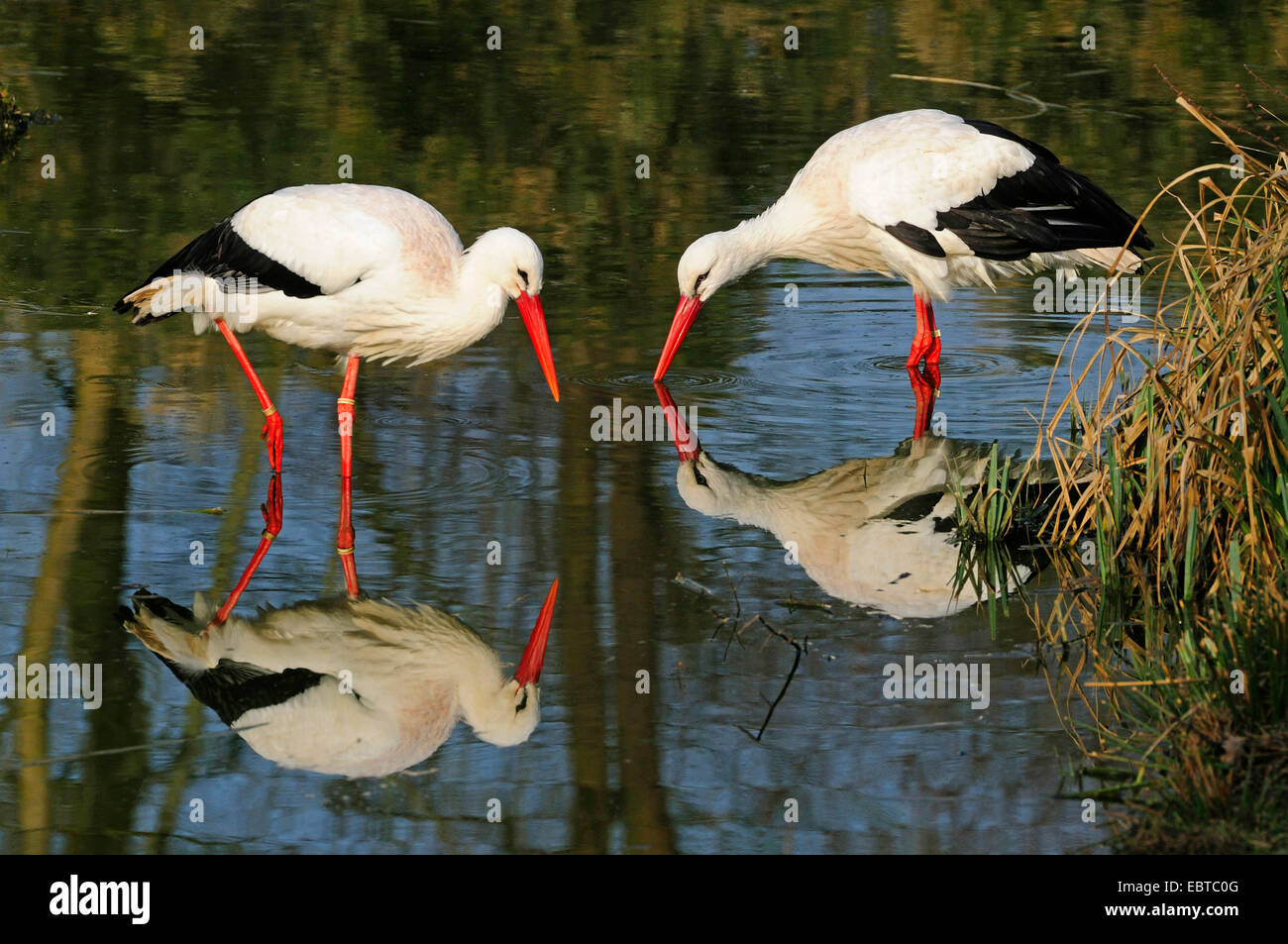 white stork (Ciconia ciconia), two birds looking for food in shallow water, Germany - Stock Image