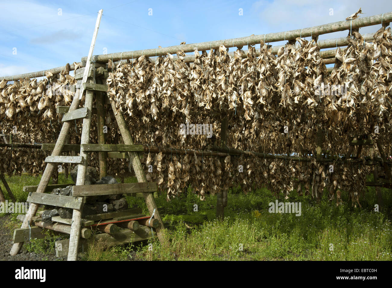 lots of stock fishes hanging at wooden scaffolds, Iceland, Reykjanes Peninsula - Stock Image