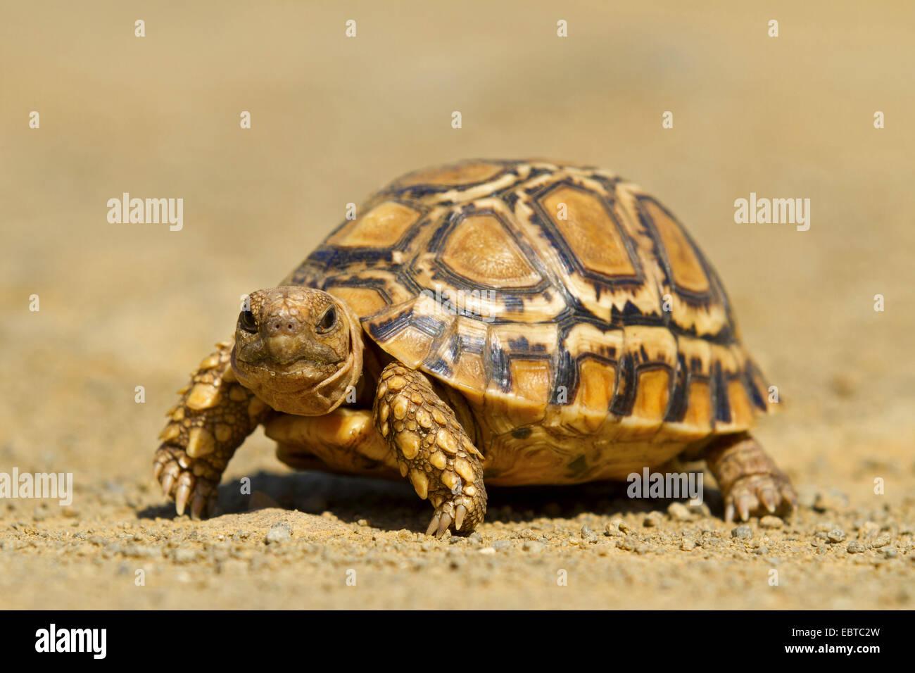 leopard tortoise (Geochelone pardalis, Stigmochelys pardalis), walking, South Africa, Hluhluwe-Umfolozi National Stock Photo