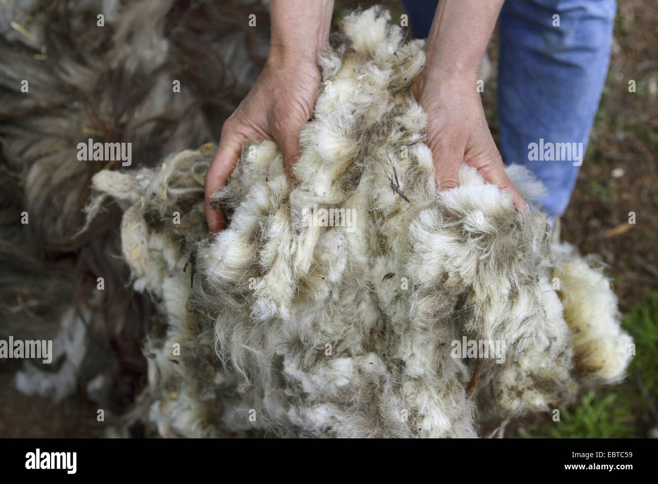 just clipped sheep whool, Germany - Stock Image