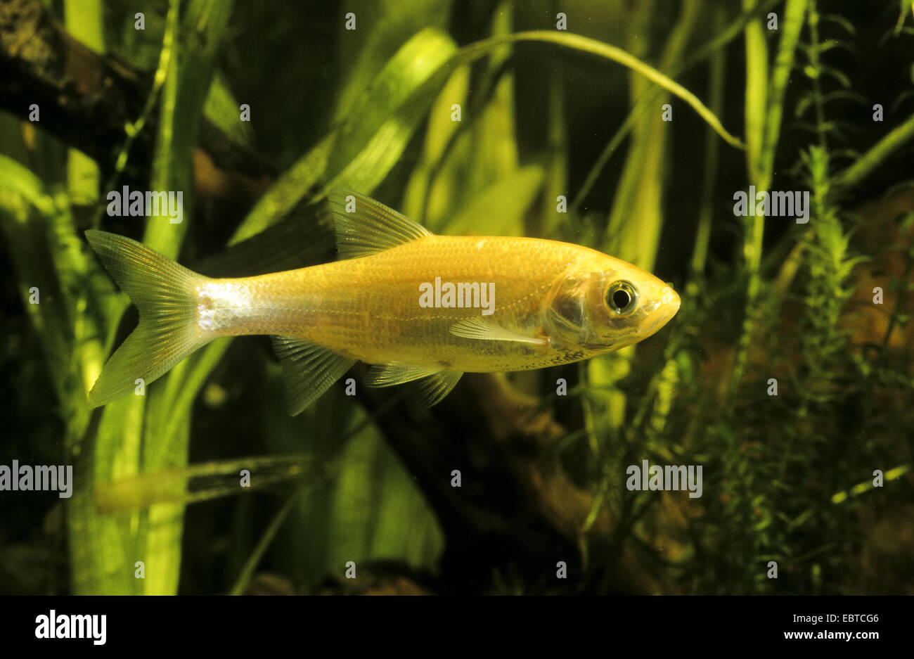 ide, id, orfe, golden orfe (Leuciscus idus), cultivated form, swimming among water plants - Stock Image