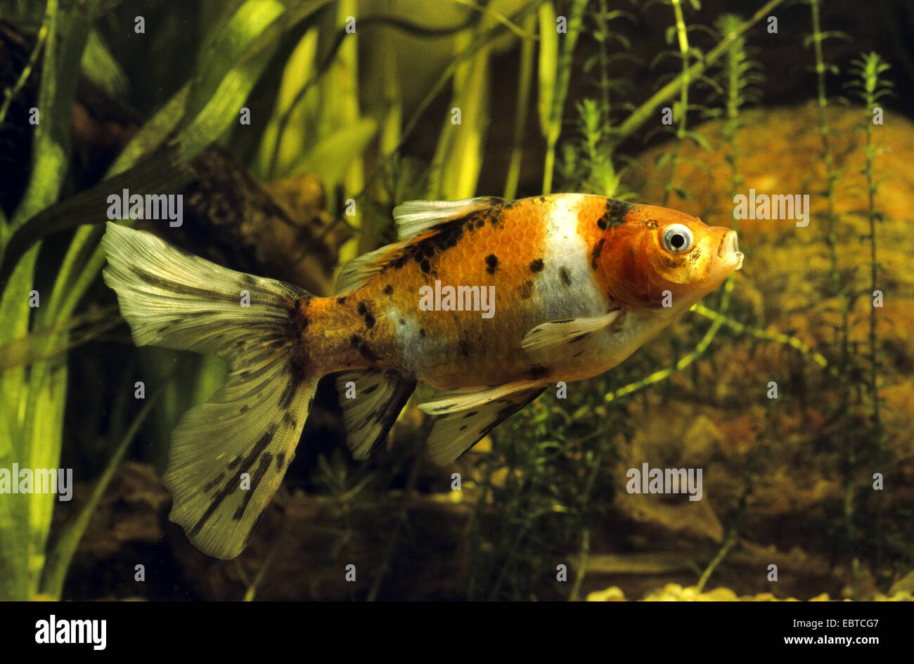 Shubunkin goldfish (Carassius auratus), swimming among waterplants Stock Photo