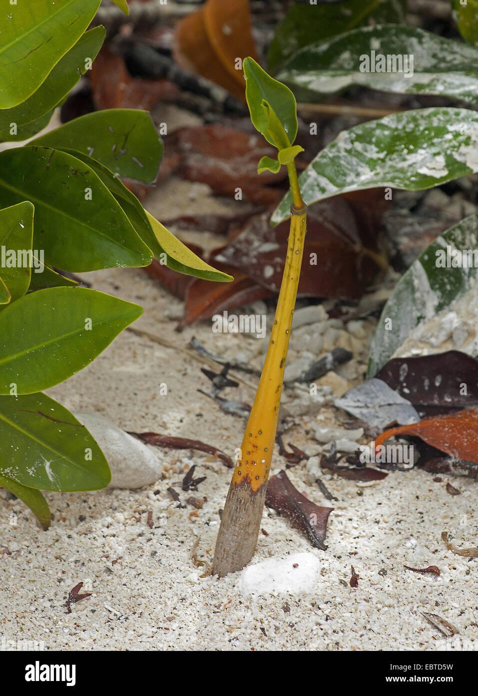 red mangrove (Rhizophora mangle), seedling in sand, Ecuador, Galapagos Islands, Genovesa - Stock Image