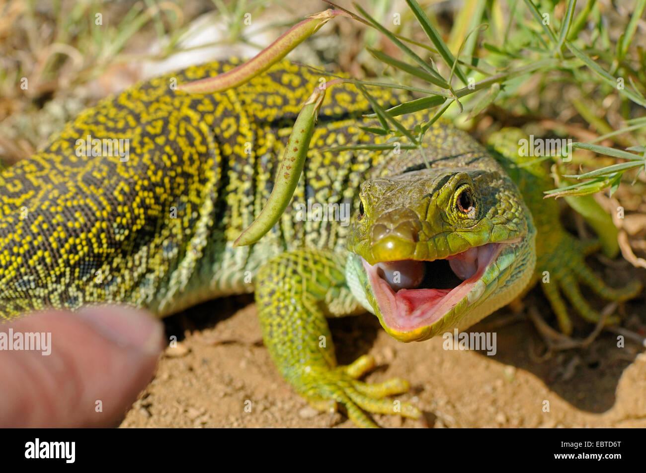 ocellated lizard, ocellated green lizard, eyed lizard, jewelled lizard (Lacerta lepida), lizard being teased with - Stock Image