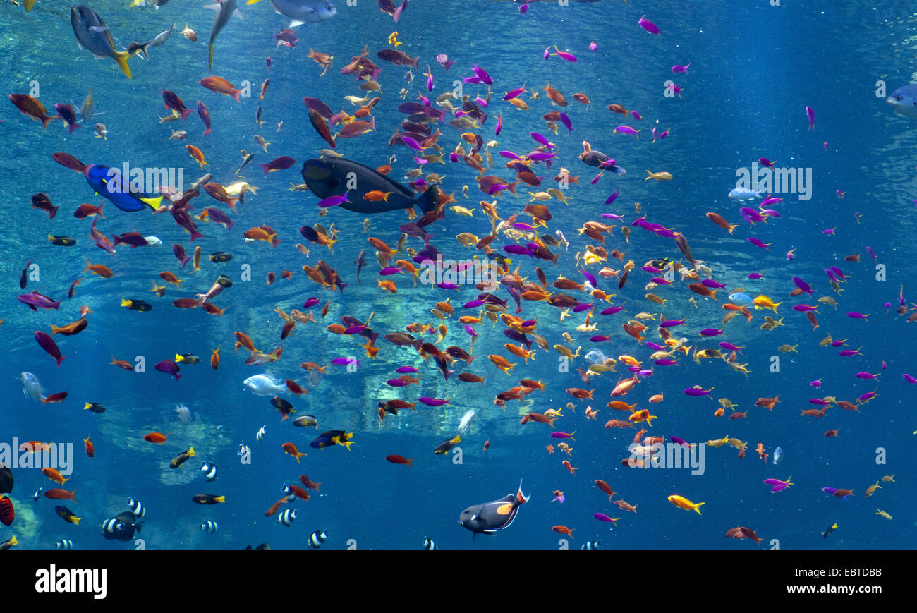 various tropical fishes in a marine aquarium - Stock Image
