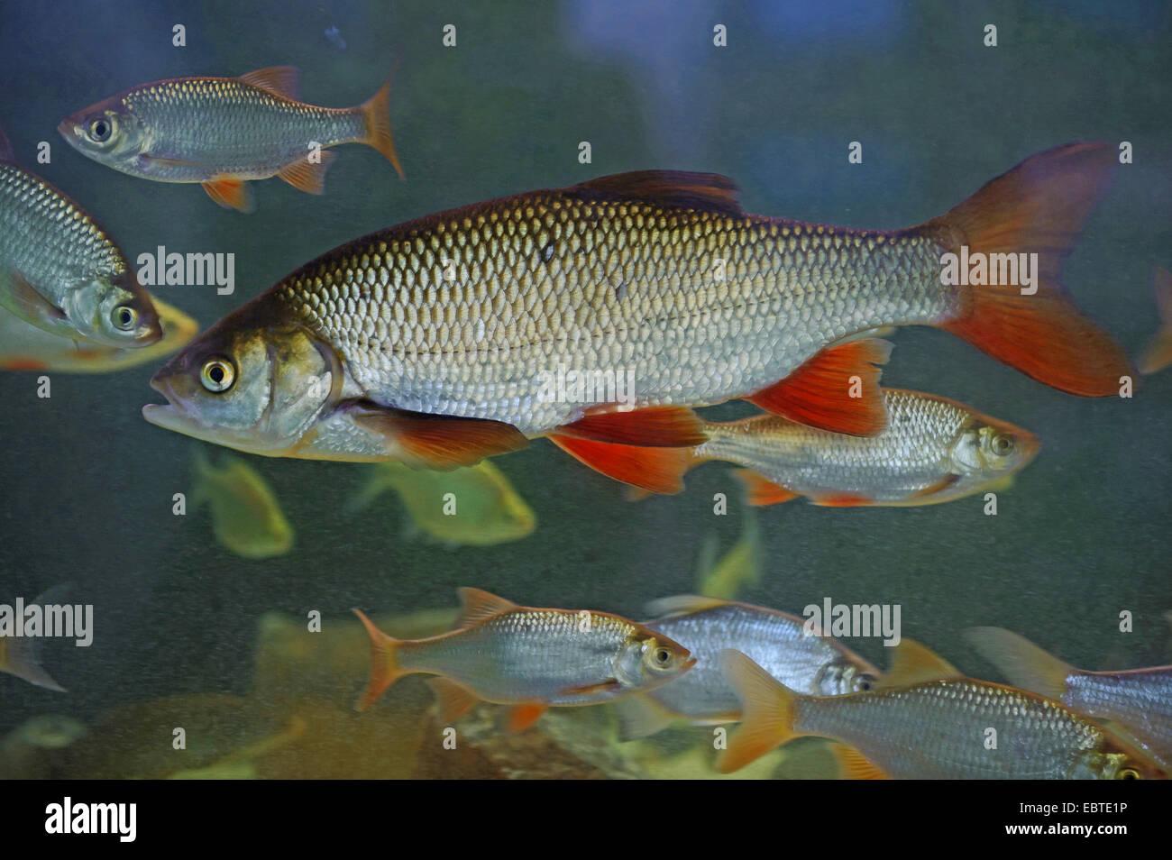 rudd (Scardinius erythrophthalmus), shoal, Vechta, Niedersachsen, Germany Stock Photo